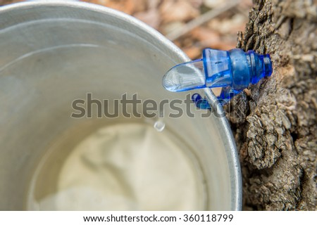 Maple Sap Dripping into a Bucket - stock photo