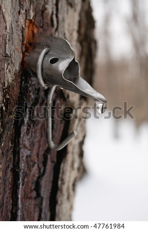 Maple sap droplet flowing from tap in tree to produce maple syrup - stock photo