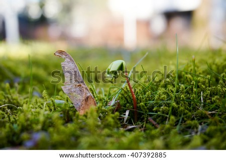 Maple seed and maple sprout up in early spring, Finland - stock photo