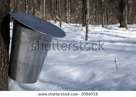 Maple syrup season. Pail used to collect sap of maple tree to produce maple syrup. - stock photo