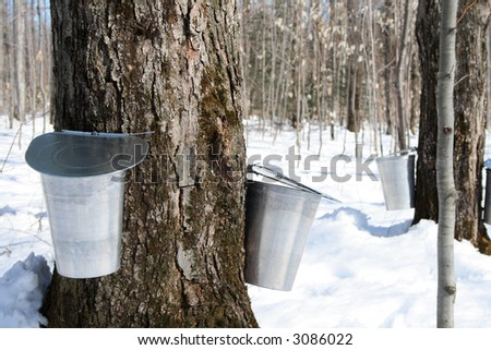Maple syrup season. Pails on trees for collecting maple sap to produce maple syrup. - stock photo