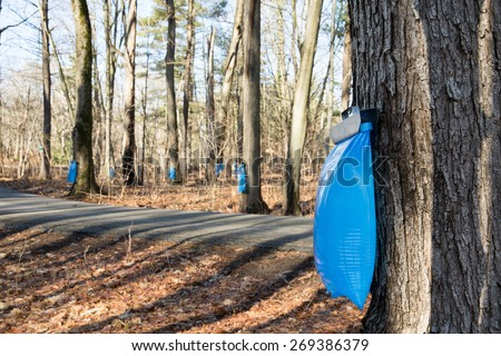 Maple Syrup Tapping - Tapping maple trees in the Spring to make maple syrup.  Selective focus on the bulging blue collection bag in the foreground. - stock photo