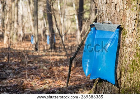 Maple Syrup Tapping - Tapping maple trees in the Spring to make maple syrup.  Selective focus on the bulging blue collection bags in the foreground. - stock photo