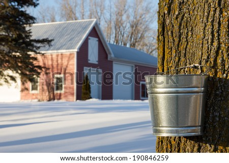 Maple Tapping - Tapping maple trees for their sap in the Spring which will be converted to maple syrup.  - stock photo