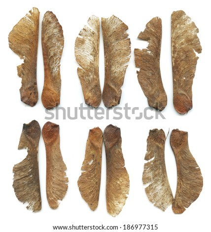 Maple tree dried seeds on white background