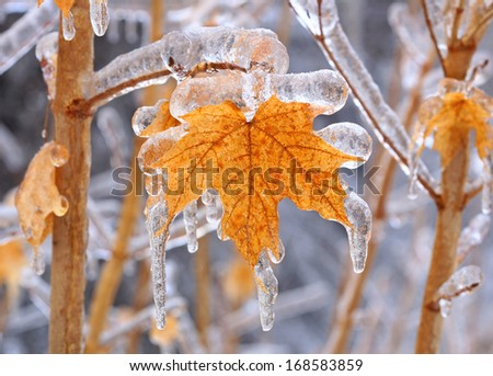 maple tree encased in ice with icicles after an ice storm in Canada  - stock photo