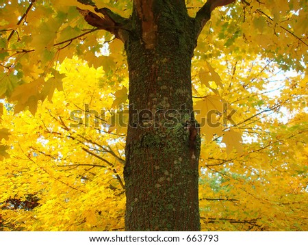 Maple tree – fall – lots of yellow colors