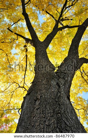 Maple tree from the bottom - stock photo