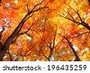 Maple tree in autumn - stock photo