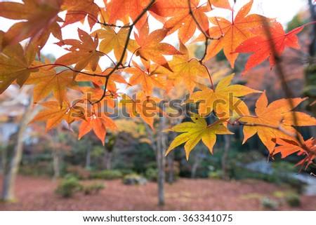 Maple tree in autumn, Japan - stock photo