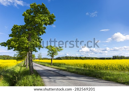 Maple tree in avenue by narrow country road in field with rapeseed flowers - stock photo