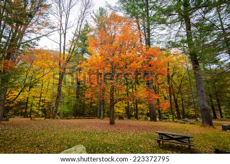 Maple tree in the fall - stock photo