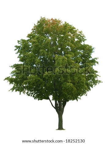 Maple tree isolated on white background - stock photo