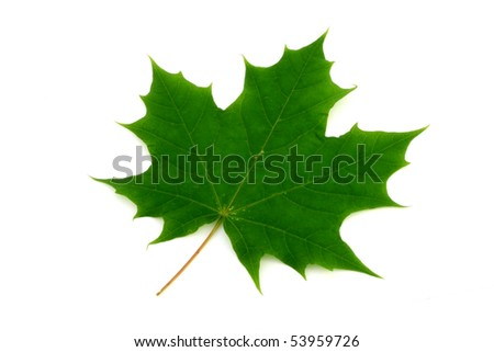 Maple Tree Leaf isolated on white - stock photo