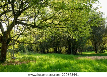 Maple tree under evening summer sunlight in a green meadow - stock photo