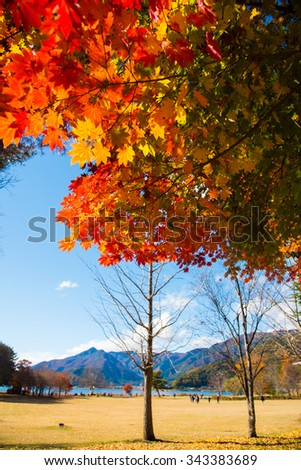 maple tree with colorful autumn leaves