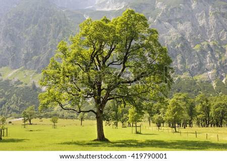 maple trees in Bavaria at alps mountains - stock photo