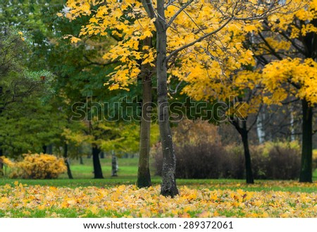 Maple trees with fallen yellow leaves on green grass, copyspace, early autumn