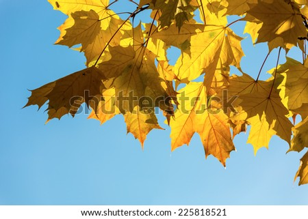 Maple yellow leaves on a background of the sky - stock photo