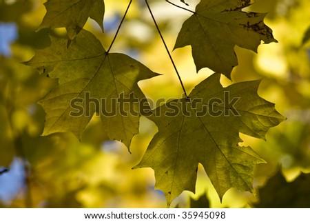 maples - stock photo