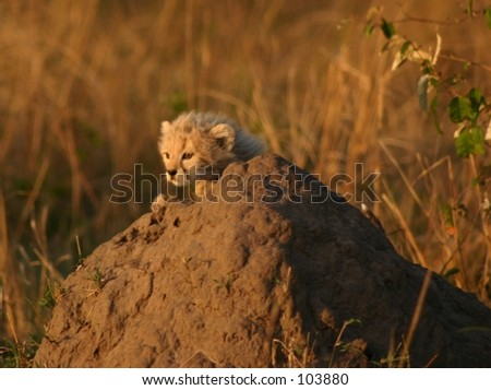 mara cheetahs 4,04 - stock photo
