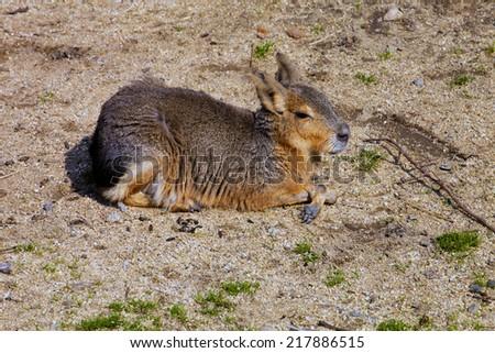 Mara, Dolichotis patagonum  - stock photo
