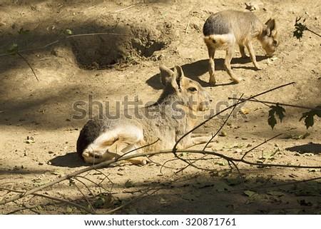 Mara, Dolichotis patagonum, a rodent - stock photo