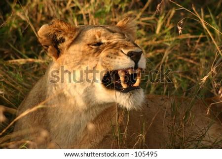 Mara lions 6,04 - stock photo