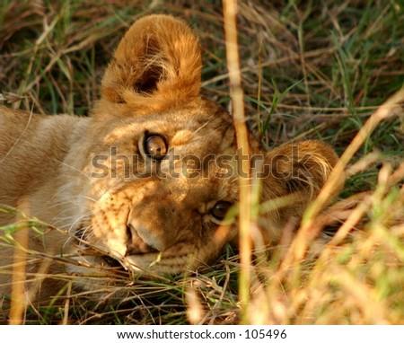 Mara lions 7,04 - stock photo