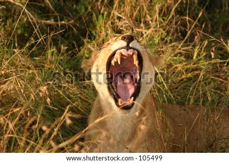 Mara lions 10,04 - stock photo