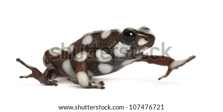 Mara?�±??n Poison Frog or Rana Venenosa, Ranitomeya mysteriosus, against white background - stock photo