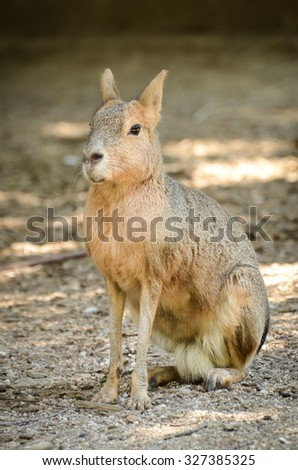 Mara rodent ora a rabbit sitting on sand in nature or a ZOO - stock photo