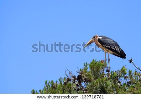 "Marabou at pine top in the national park ""Safari"" (Ramat Gan. Israel) - stock photo"