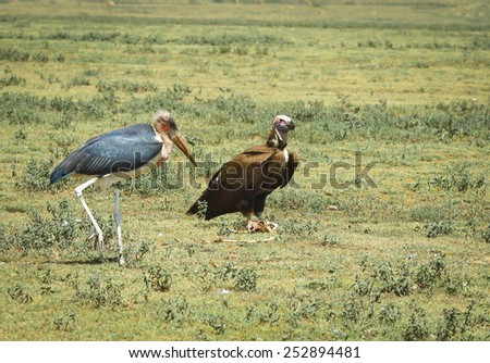 marabou stork and vulture - stock photo