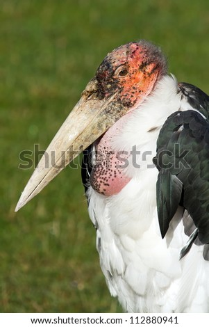 Marabou Stork close up - stock photo