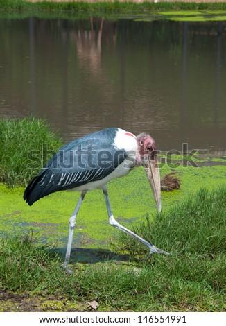 Marabou Stork in zoo - stock photo