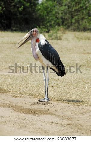 Marabou Stork, Queen Elizabeth National Park, Uganda - stock photo