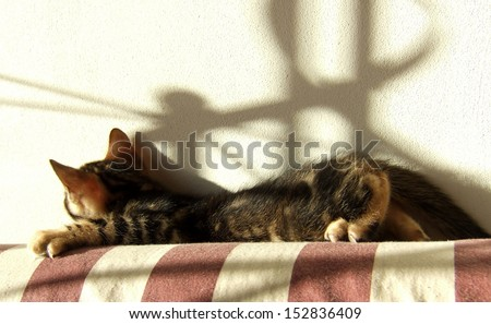 Marble bengal cat kitten relaxing on light background - stock photo