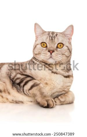 Marble british cat, isolated on white - stock photo