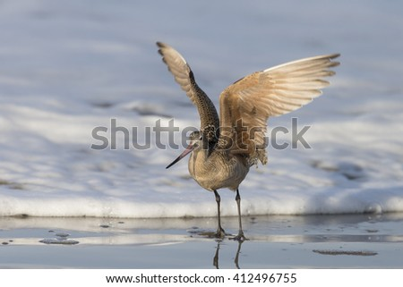 Marbled Godwit landing surf on beach at Morro Bay California - stock photo