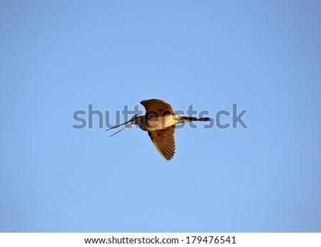 Marbled Godwit (Limosa fedoa) - stock photo