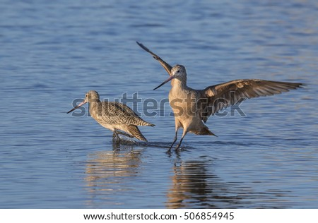 Marbled godwit (Limosa fedoa) landing in the shallow water of tidal marsh, Galveston, Texas, USA