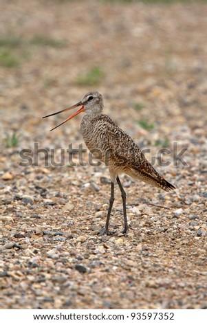 Marbled Godwit on gravel road - stock photo