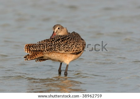 Marbled Godwit preening in shallow water