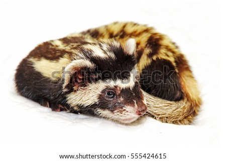 Marbled polecat (Vormela peregusna) on white background.Vulnerable species in the IUCN Red List.