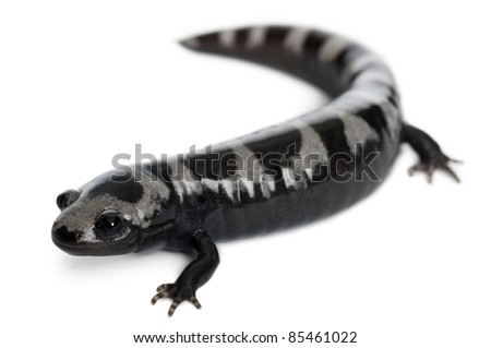 Marbled Salamander, Ambystoma opacum, in front of white background - stock photo