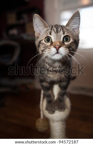 Marbled Tabby cat playing with a scratching toy