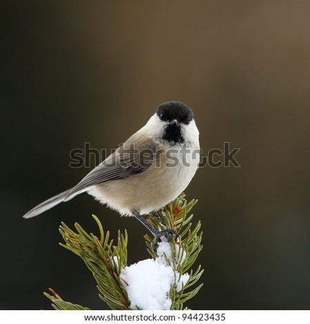 March tit on a snowy fir branch 3. - stock photo
