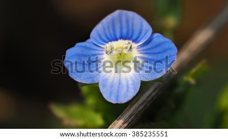 Marco of tiny blue veronica Birdseye Speedwell, Veronica persica, Figwort wildflower? - stock photo