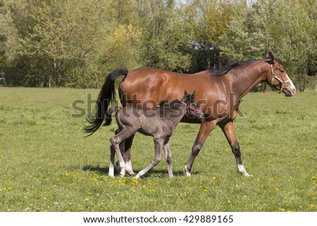 Mare and foal in grass land - stock photo